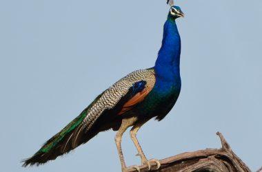 Free Peafowl Image