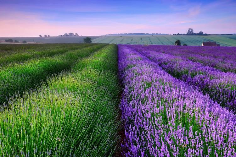 Top Lavender Field