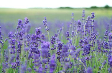 Widescreen Lavender Field 30071
