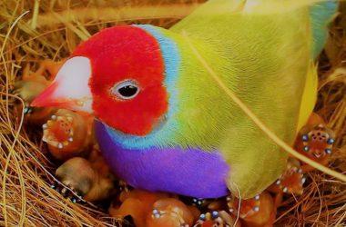 Beautiful Gouldian Finch 30339