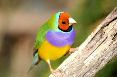 Free Gouldian Finch