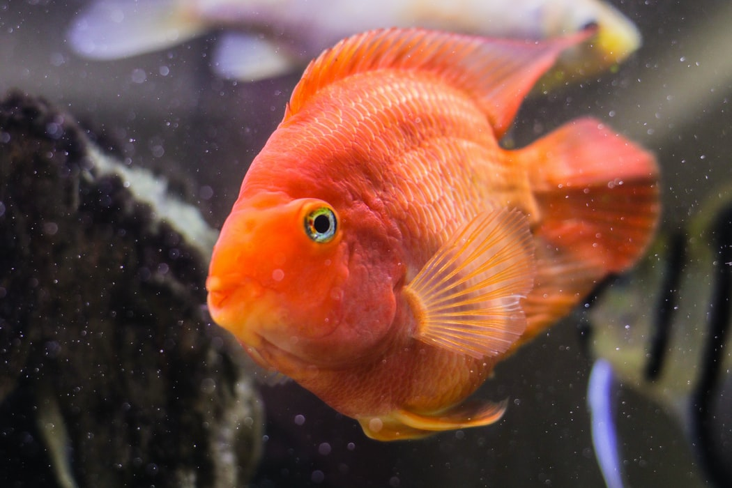 Free Parrot Fish Wallpaper