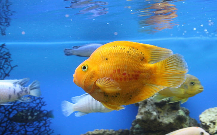 Yellow Parrot Fish Wallpaper