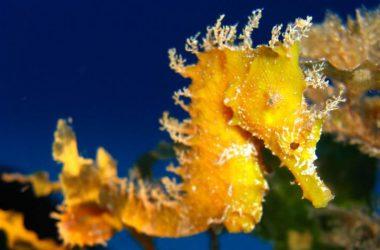 Yellow Seahorse Wallpaper