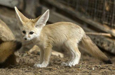 Awesome Fennec Fox