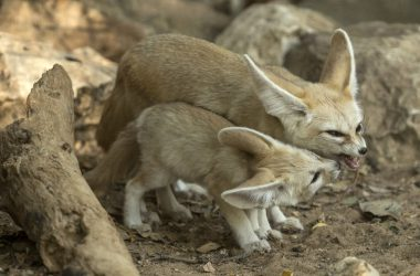 Cute Fennec Fox Picture
