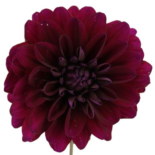 Free Maroon Flower