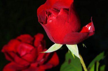 Free Rose Flower