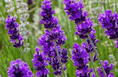 Landscape Lavender Flower