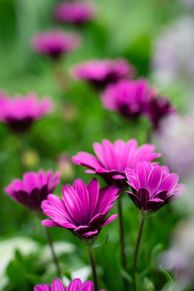 Landscape Pink Daisy
