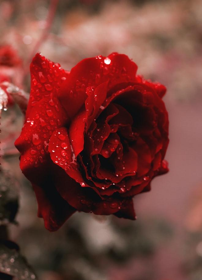 Stunning Rose Flower