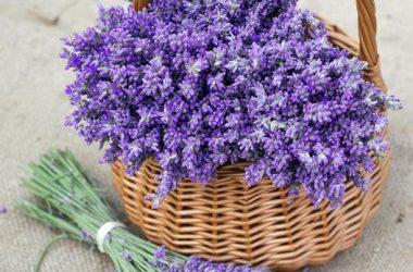 Top Lavender Flower
