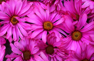 Wonderful Pink Daisy