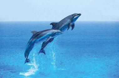 Blue Sea Dolphin Image