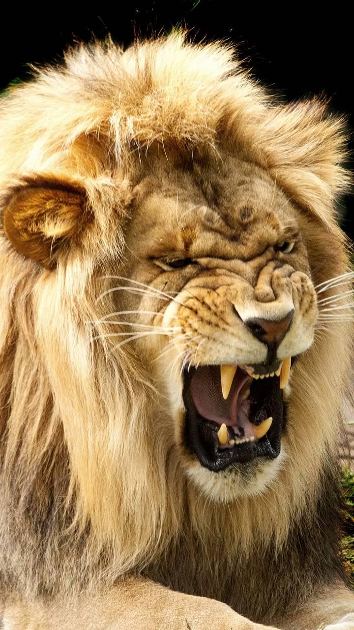 Brown Angry Lion