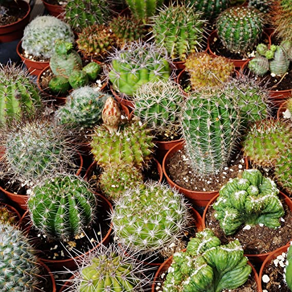 Free Cactus Flower