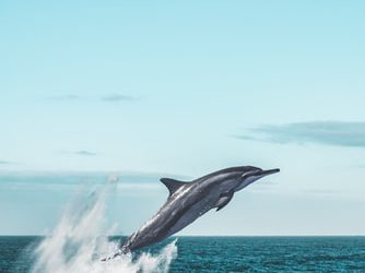 Free Dolphin Image