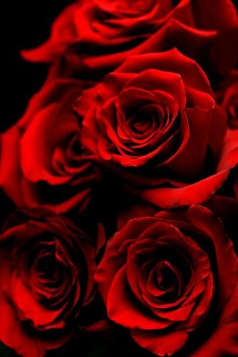 Natural Red Rose 31612