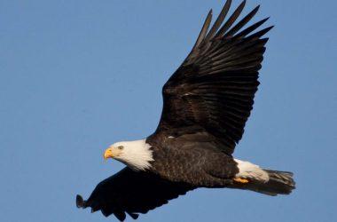 Nice Bald Eagle Image