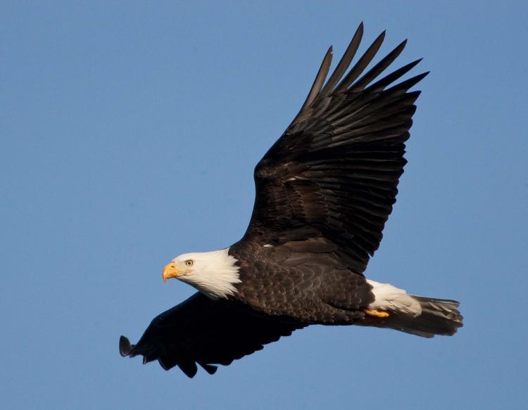 Nice Bald Eagle Image 31828