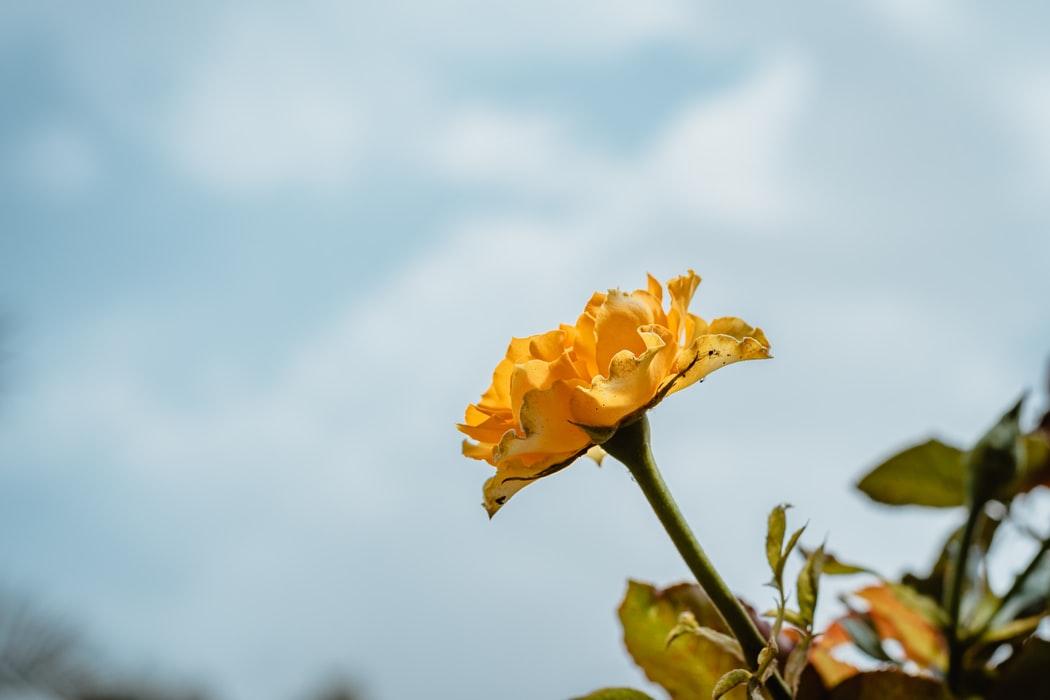 Nice Yellow Rose 31583
