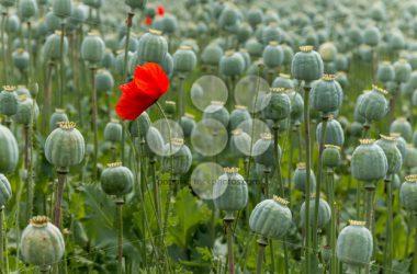Simple Poppy Flower