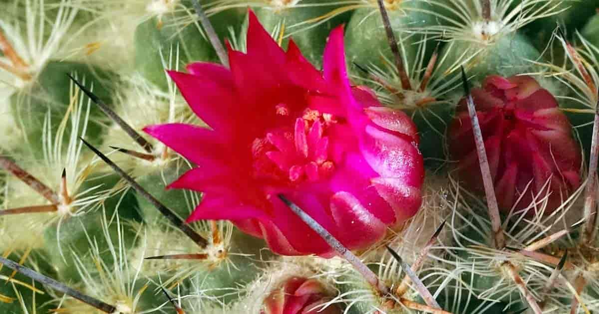 Super Cactus Flower