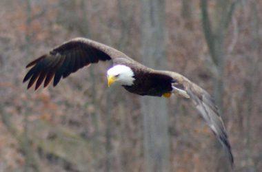 Top Bald Eagle Image