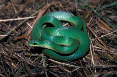 Top Green Snake