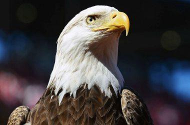 Wonderful Bald Eagle Image