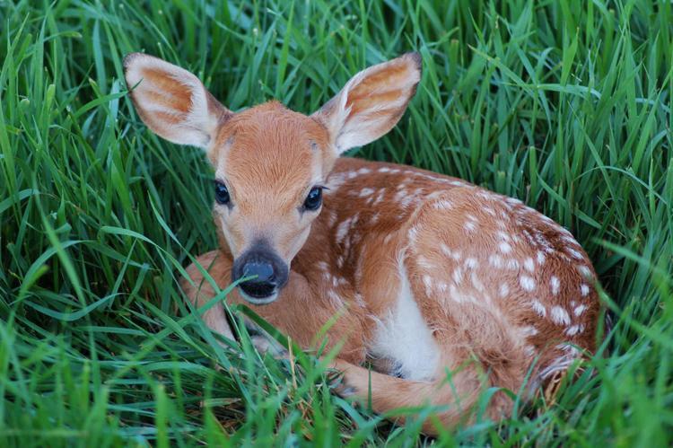 Animal Baby Deer