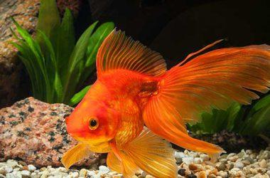 Awesome Goldfish