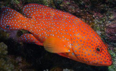 Beautiful Coral Hind