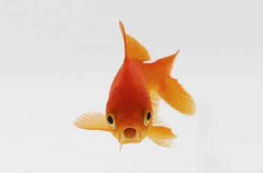 Best Goldfish