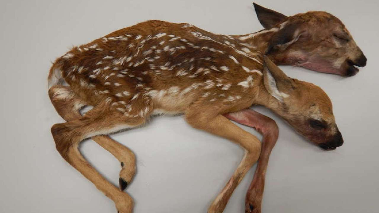 Free Baby Deer