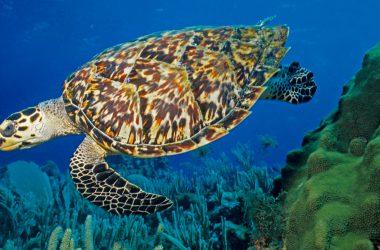 Free Hawksbill Sea Turtle