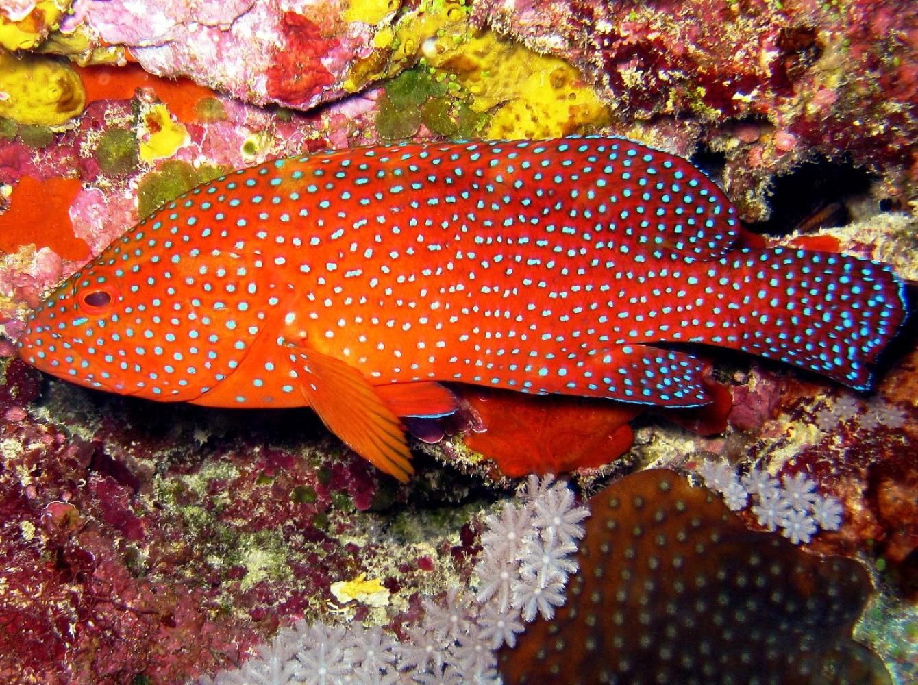 Nice Coral Hind