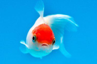 Top Goldfish