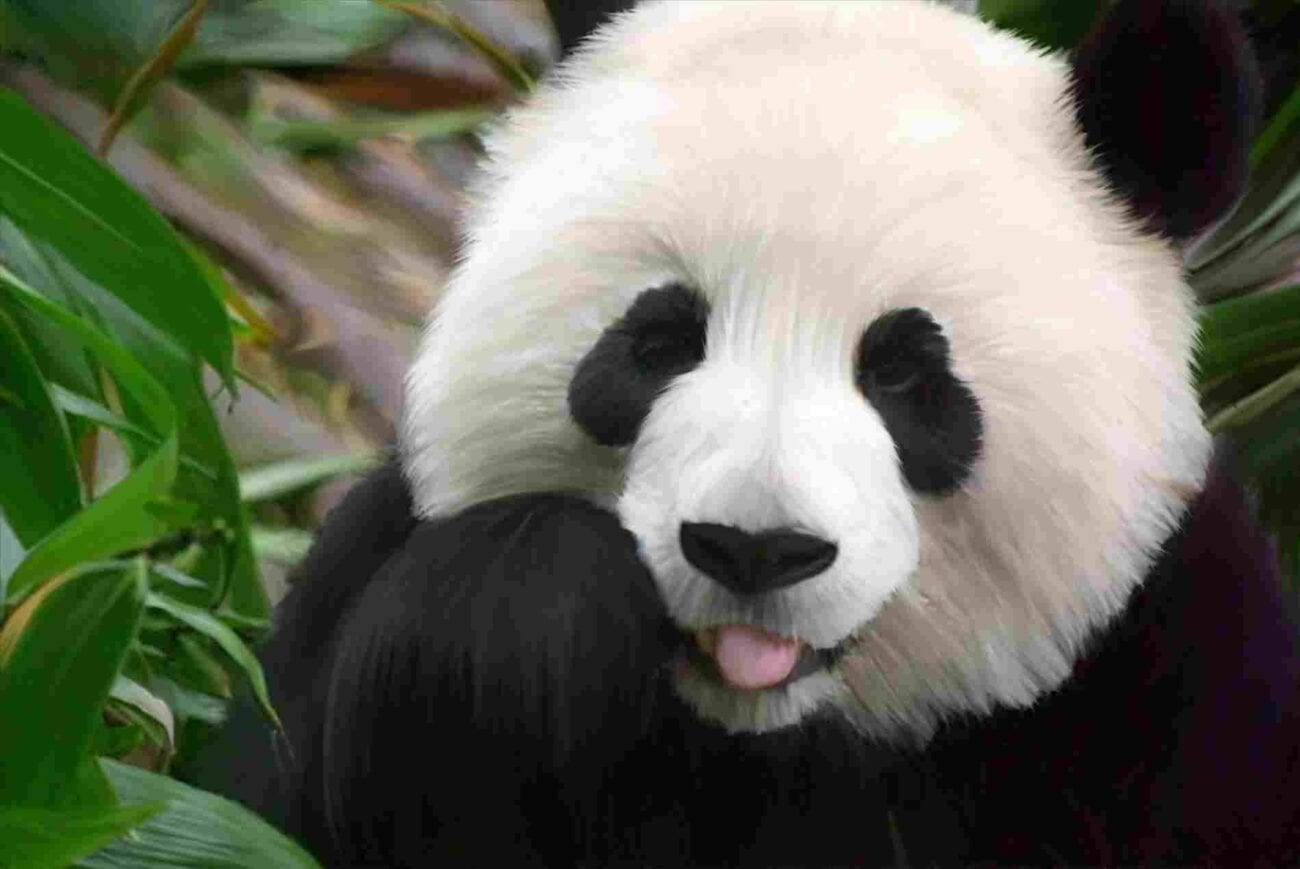 White Cute Panda