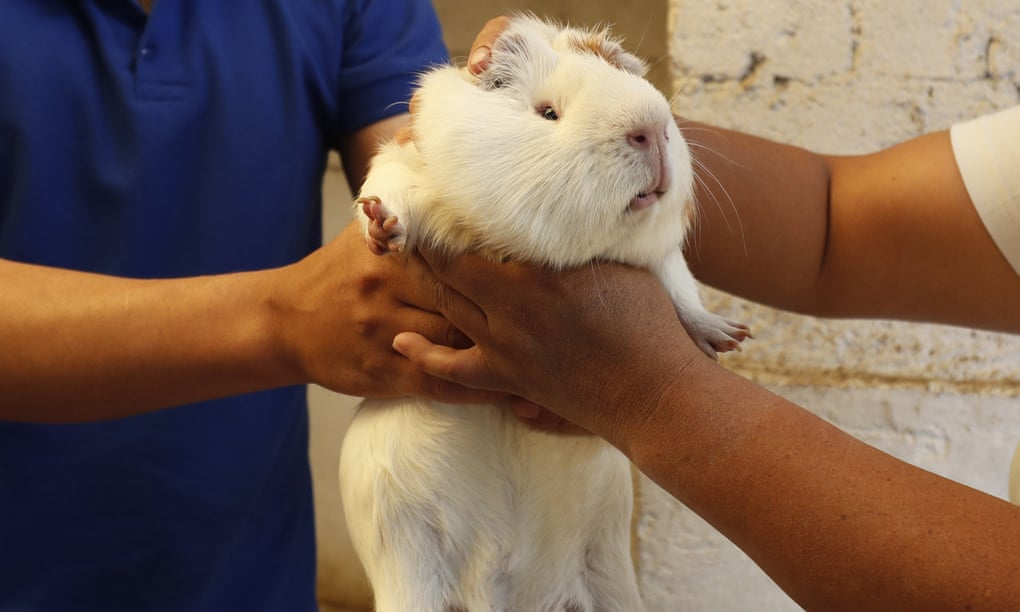 White Guinea Pig