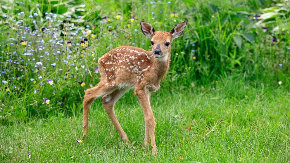 Widescreen Baby Deer 32092