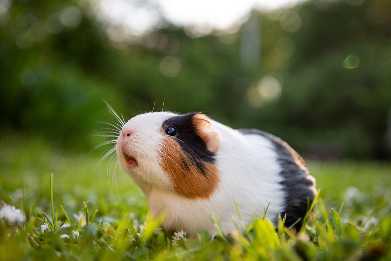 Widescreen Guinea Pig