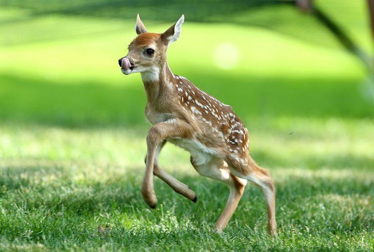 Wonderful Baby Deer 32093