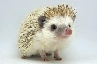 Amazing Hedgehog Image