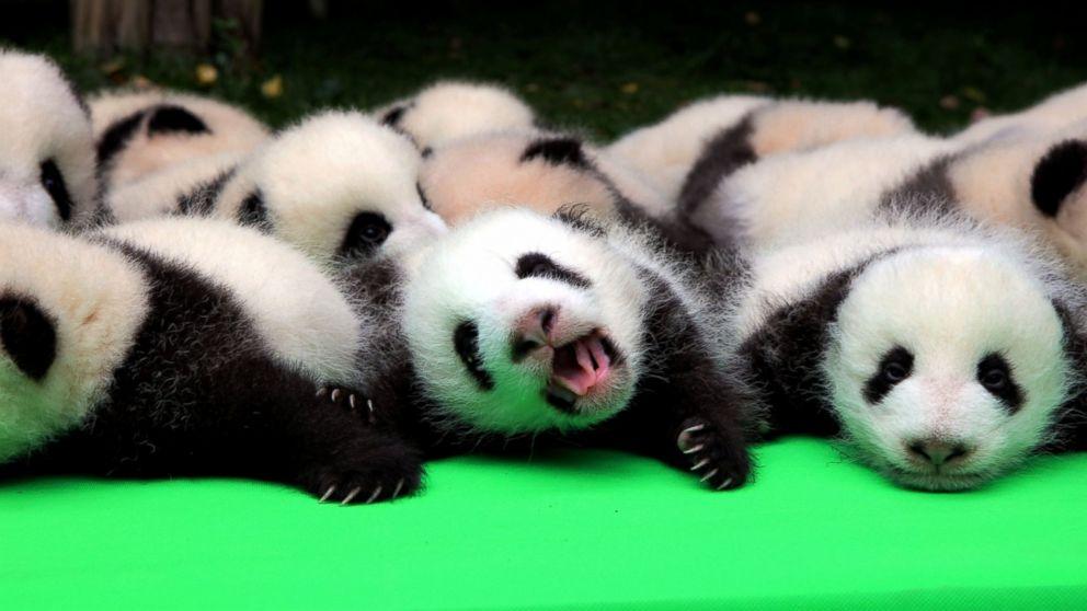 Awesome Baby Panda