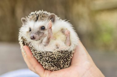 Baby Hedgehog Image
