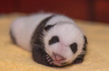 Free Baby Panda