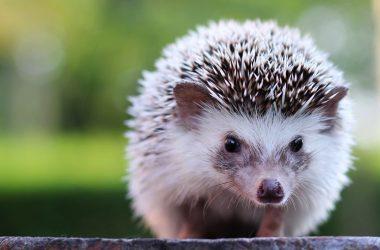 Free Hedgehog Image