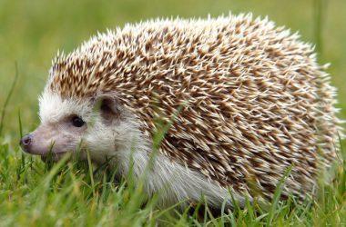 Great Hedgehog Image