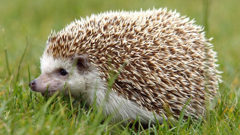 Great Hedgehog Image 32412